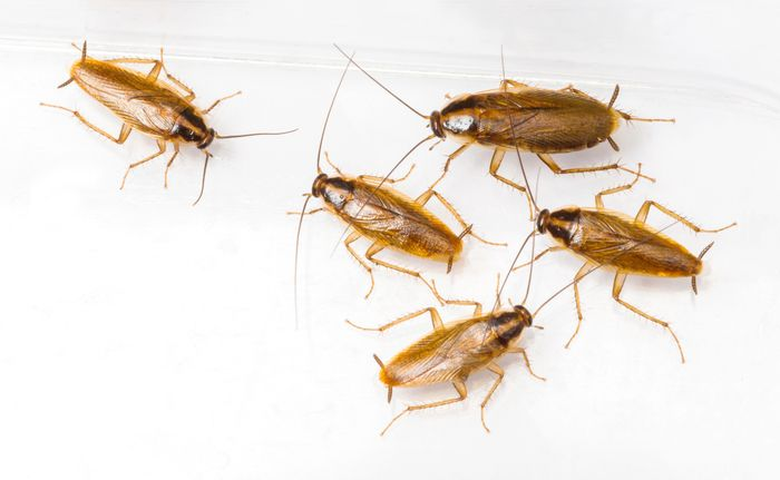 Cockroaches aggregate in response to pheromones.