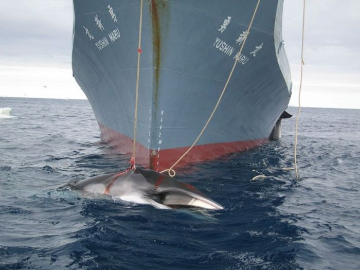 """Japan will continue its whaling practices for """"scientific research"""" this year"""