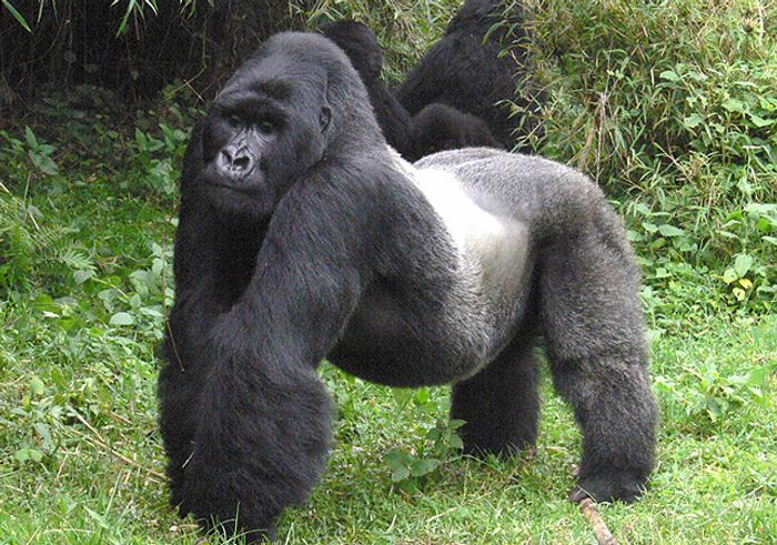"""The Eastern Gorilla is now considered """"Critically Endangered."""""""