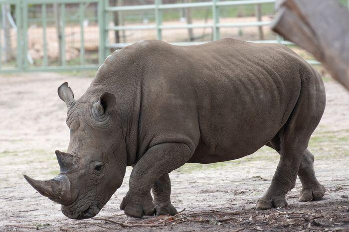 A Southern white rhinoceros.