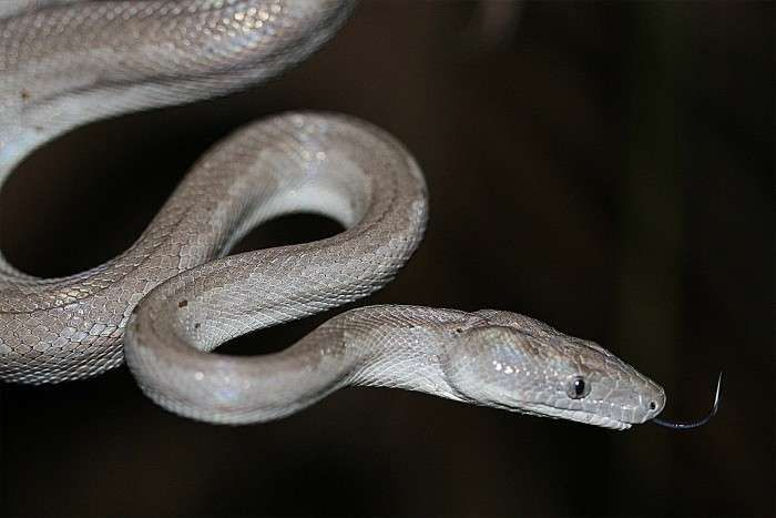 Silver boas were new species discovered as biologists explored regions of the Bahamas in 2015.