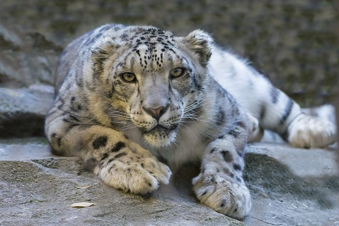"""Snow leopards are considered an endangered species by the IUCN, but they might be downgraded to """"vulnerable."""""""