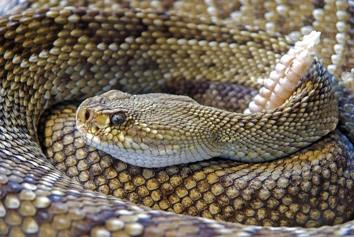 Rattlesnakes can be told apart from other species by the rattle-shaped tail.