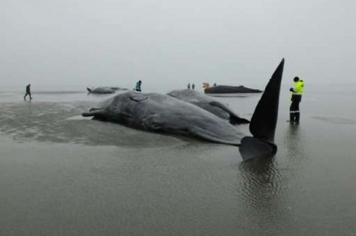 A sperm whale seen beached in Germany.