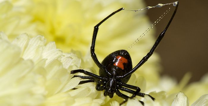 The WO phage produces black widow spider toxin.