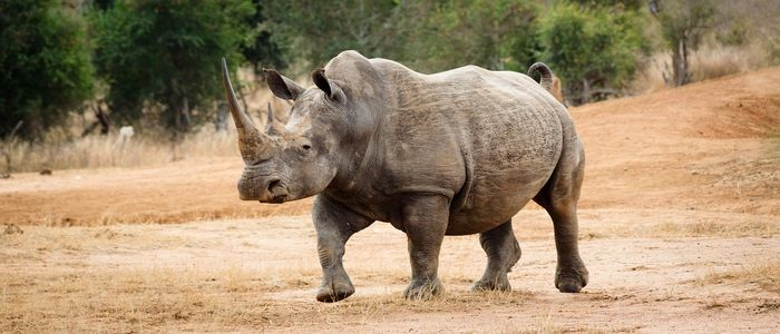 Rhinos are heavily poached because of their valuable horns. The creatures continue to inch closer to extinction.