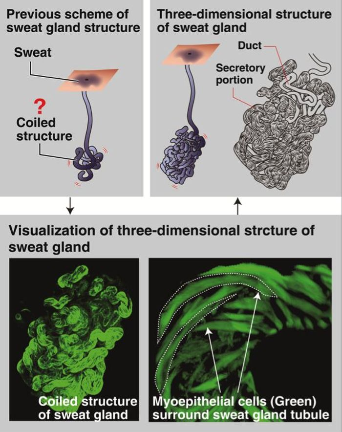 This is a detail three-dimensional structure of human sweat gland. / Credit: Osaka University