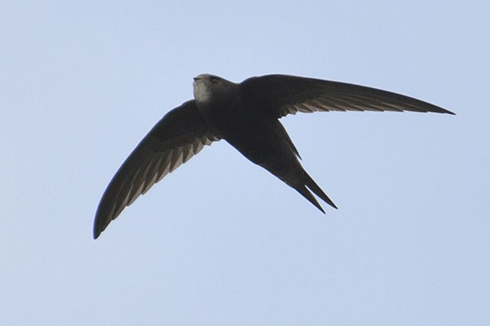 The common swift can stay airborne for 10 months, study finds.