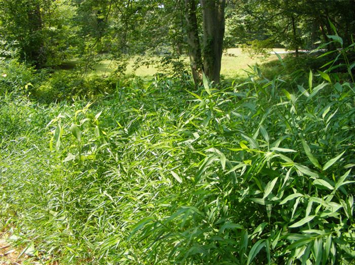 Japanese stiltgrass is difficult to remove once it has invaded a plant community. Photo: WHYY