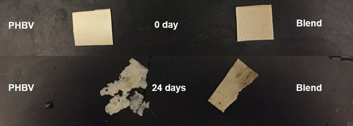 Natural rubber-bioplastic blend showed better stability against degradation (Ohio State U)