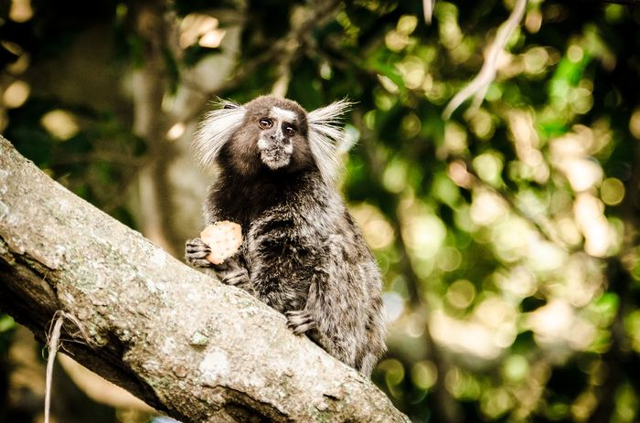 Attentive marmoset fathers are essential for infant survival, study shows.